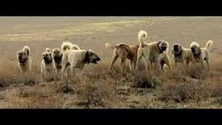 ANADOLU ÇOBAN KÖPEKLERİ - (TÜRK ÇOBAN KÖPEKLERİ - Turkish shepherd dog - Anatolian Shepherd Dogs)