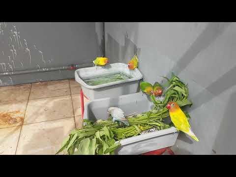 Love Bird Koloni Feeding Time [ Makan Kangkung ] ● RAD Bird Sanctuary