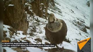 Священная птица улар попала в объектив фотоловушки
