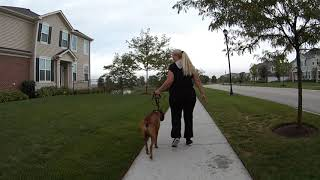 Walk Dog with Boxer