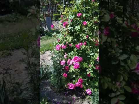 Канадские розы вековая и Джон девис