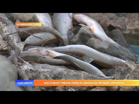 Массовая гибель рыбы в одном из прудов Саранска