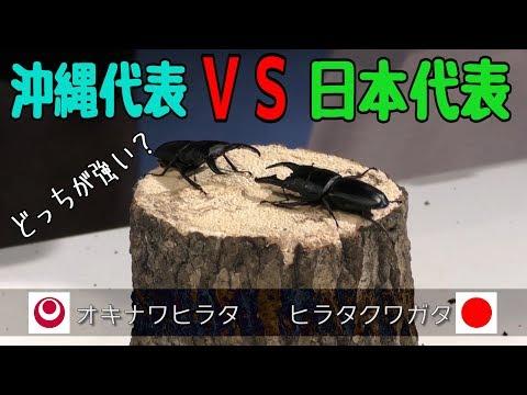 捕まえた沖縄カブトVS県外産カブト どっちが強い?