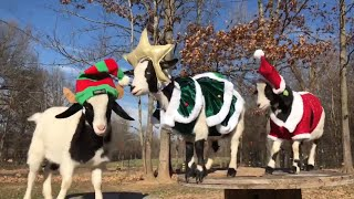 Fainting Goats Compilation Cute Funny Animals HD 🐐