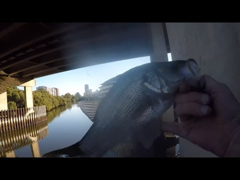 Urban Fishing In Parramatta. Would You Eat These Fish???