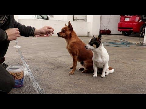 Dog tricks. Chihuahua dogs