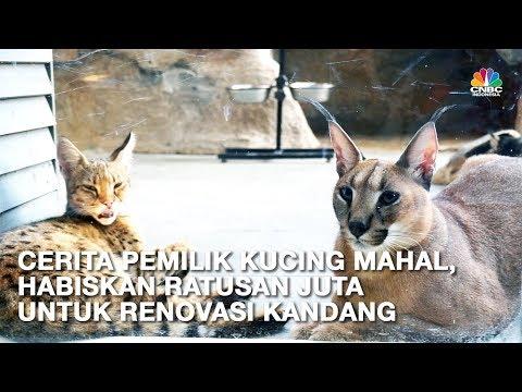 Ini Caracal dan Savannah, Kucing Termahal Senilai Ratusan Juta Rupiah