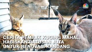 Ini Caracal dan Savannah, Kucing Termahal Senilai Ratusan Juta Rupiah thumbnail
