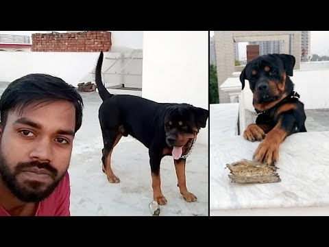 Rottweiler Daily Routine | Play and make him Fit : [ Bolt ]