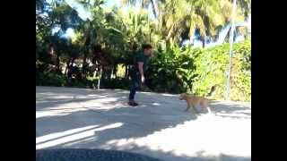 Dog And Puppy Obedience Training In Miami, Florida - 14week Old Golden Retreiver Puppy