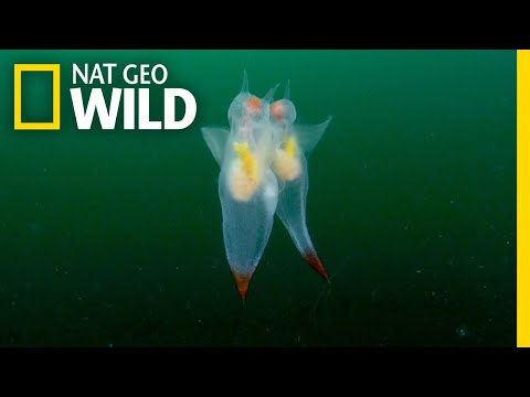 Watch These Adorable Sea Creatures' Graceful Mating Dance | Nat Geo Wild