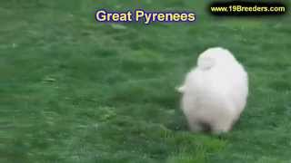 Great Pyrenees, Puppies, For, Sale, In, West Jordan, Utah, County, UT, Utah, Davis, Cache, Box Elder