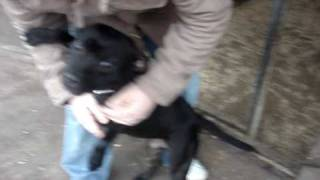 Roxy - Staffordshire Bull Terrier Avaliable For Adoption