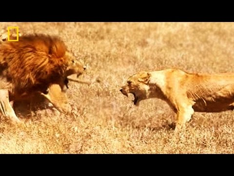 The Lioness\' Courage ✧ NATIONAL GEOGRAPHIC DOCUMENTARY ✧ HD Lion Video