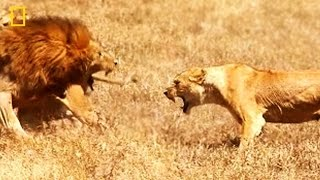 The Lioness' Courage ✧ NATIONAL GEOGRAPHIC DOCUMENTARY ✧ HD Lion Video