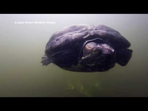 Aliens Underwater UK: Red Earred Terrapin