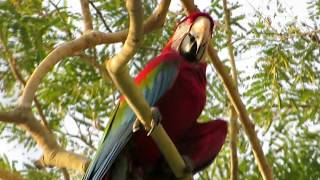 Macaws in Brazil (in the wild)