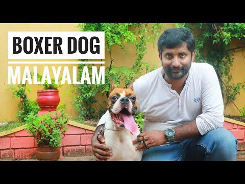 Boxer Dog Malayalam | Kamath Kennel's kasaragod