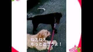 日本では珍しいカーリーコーテッドレトリバーとヱビスの戯れ.