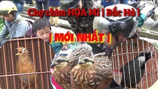 CHỢ CHIM BẮC HÀ LÀO CAI - Mới Nhất | HỌA MI, KHƯỚU,  ĐẠI BÀNG,  CHIM LẠ | birds market