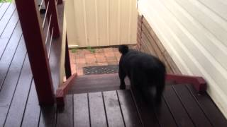 Pug Dog Stair Climb Win! (funny)