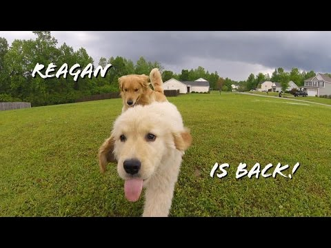 Reagan The Golden Retriever Puppy Returns!