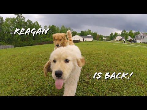 Reagan The Golden Retriever Puppy Returns!
