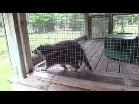 Raccoon at Wisconsin Deer Park