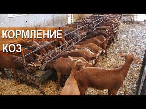 Кормление коз на фермах в Испании. Рацион коз