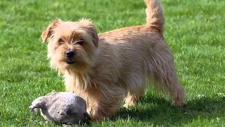 Cute Pictures Of Dog Terrier Norfolk | Picture Ideas Of Dog Breeds
