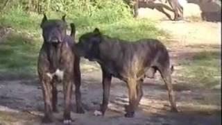 Аланские собаки Alano Español(Тысячи лет тому назад в Древней Ассирии вывели породу Ассирийских догов, предки которых попали туда из..., 2011-12-12T11:09:58.000Z)
