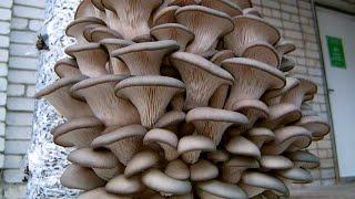Выращивание_грибов_в_домашних_условиях. Самостоятельное_выращивание_грибов.(Выращивание грибов в домашних условиях. С незапамятных времен люди добавляли в пищу различные съедобные..., 2014-10-25T13:46:04.000Z)