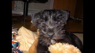 Miniature Schnauzer Puppy!