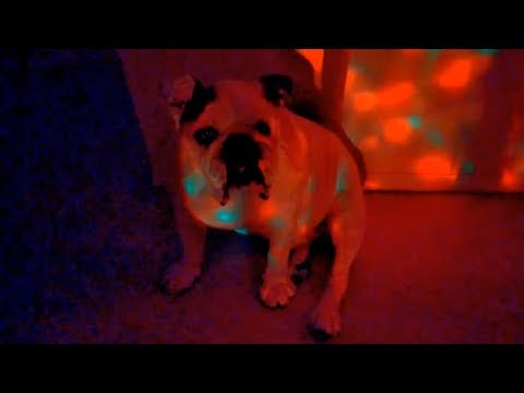 Bulldog not impressed with rave party lights