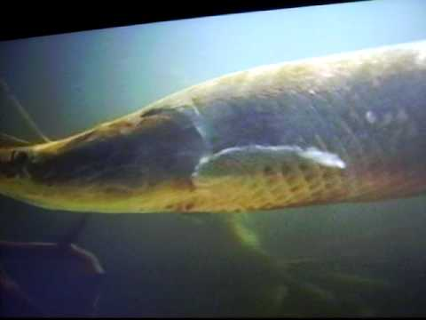 Amazonas Fische