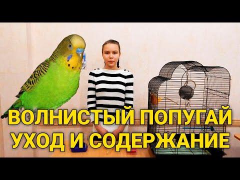 Волнистый попугай - уход и содержание