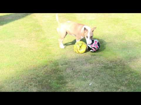 Tilly the English Terrier having fun with a ball