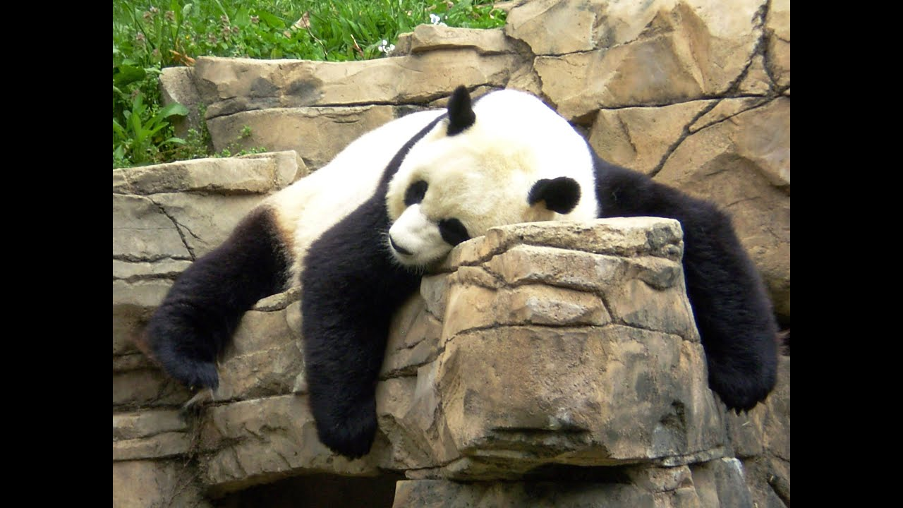Why Panda's Can't Help But Be Lazy - YouTube