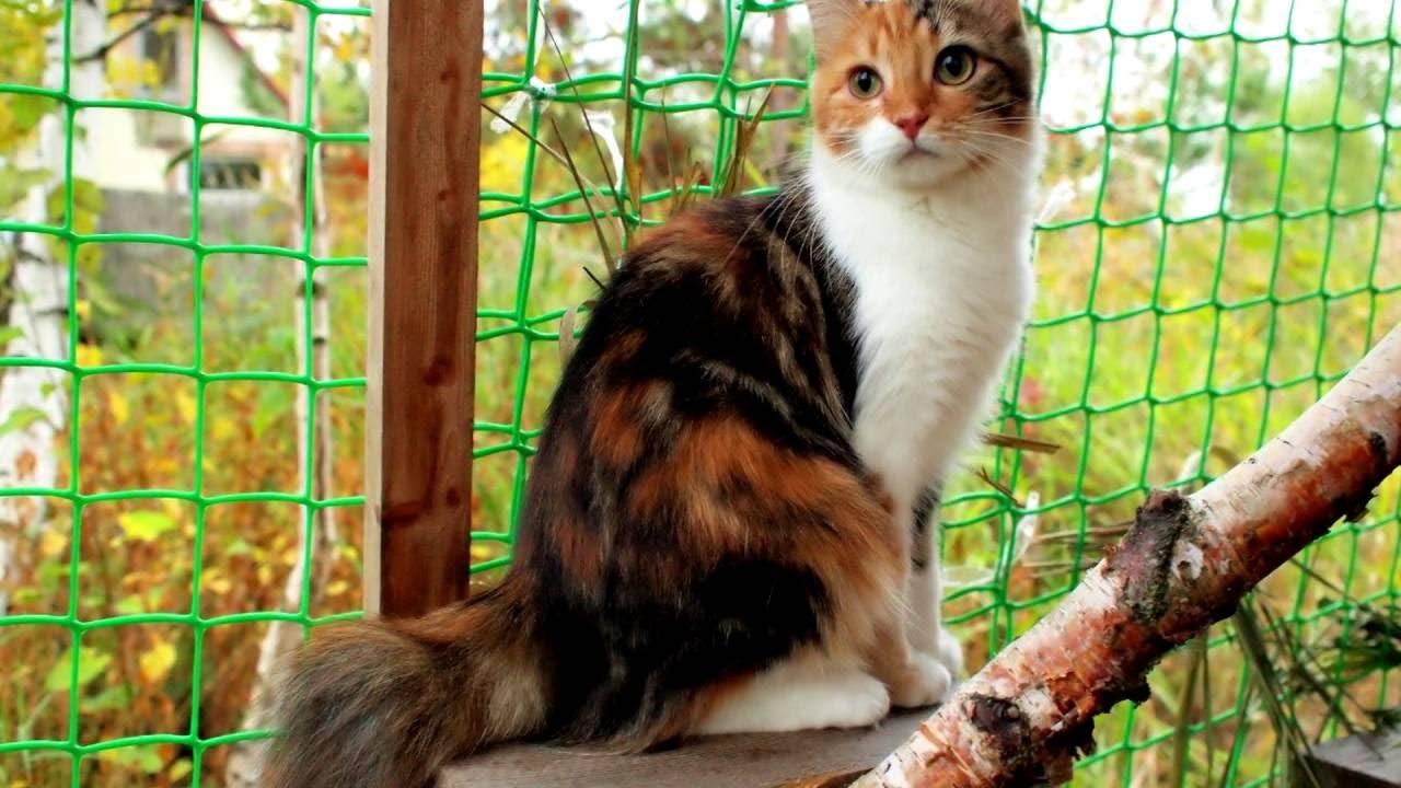 Порода кошек. Карельский бобтейл.Очень редкая и необычная порода с укороченным  хвостом.