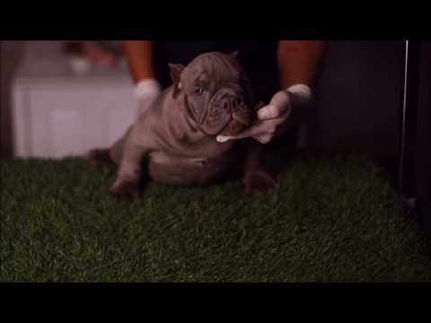 MONSTER EXOTIC BULLY DNA PROFILE RONIN BULLIES CAMP THAILAND ( อเมริกันบูลลี่ )
