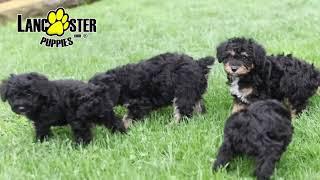 Mini Schnoodle Puppies