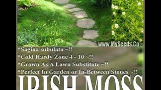 IRISH MOSS SEEDS, Sagina subulata, Heath Pearlwort - SEEDS on  www.MySeeds.Co