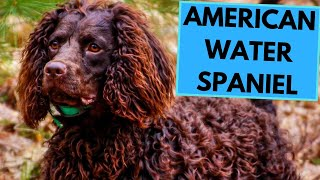 American Water Spaniel  TOP 10 Interesting Facts