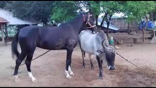 Lovely Horse and Kangayam cow Love