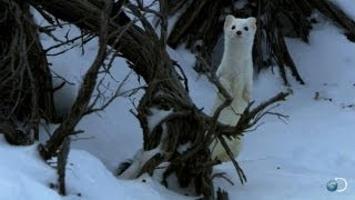 Tiny Bunny Outsmarts a Weasel | North America