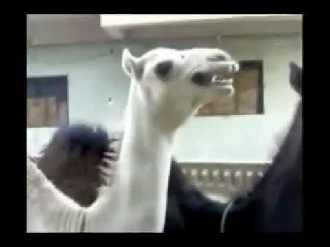 Camel that sounds like Peter Griffin