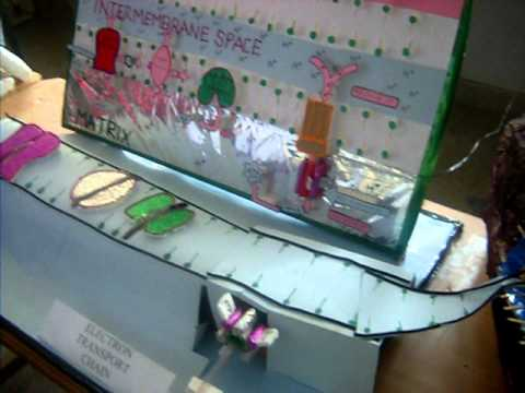 Mitochondria Working Model By Students Of M Sc
