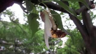 8月12日、本日の善福寺川緑地帯はセミの「羽化」祭 あちこちで見られて...