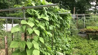 Green Beans - The Best, Part 3 Of 3  (oag 2015)