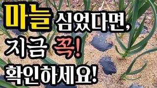 지금 마늘밭 이상여부 확인하세요!(#마늘병충해방제,#고…